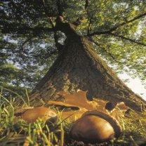 oak tree with acorns around it